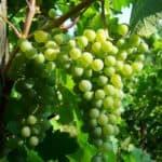 grapes summer antioxidants